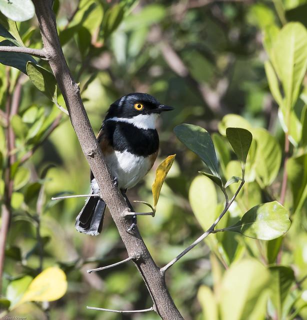 Cape Batis (Batis capensis)-8995