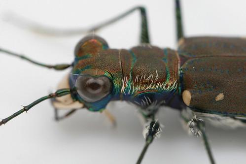 insect beetle coleoptera carabidae cicindela cicindelarufiventris cicindelidia cicindelidiarufiventris tigerbeetle easternredbelliedtigerbeetle northcarolina piedmont canonmpe65mmf2815xmacrophoto inaturalist
