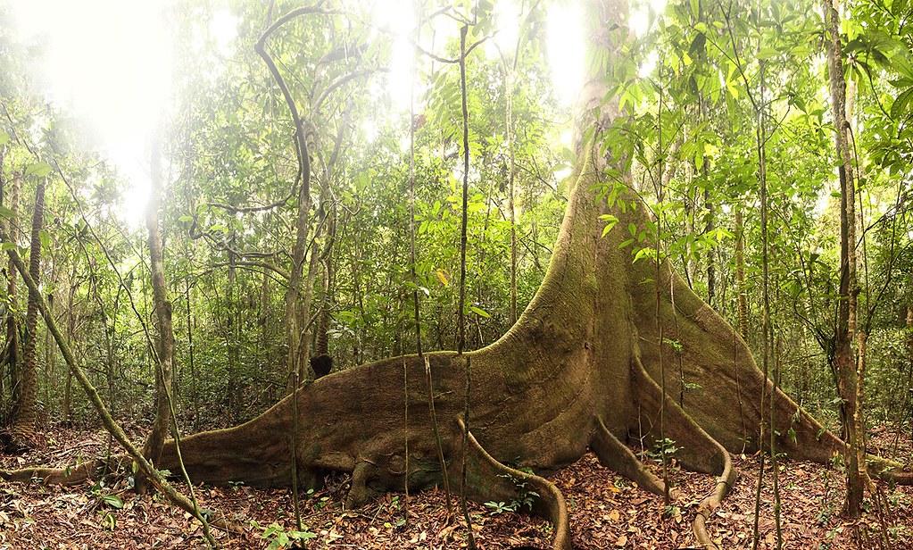 Kapok tree, Ankasa Conservation Area in Ghana
