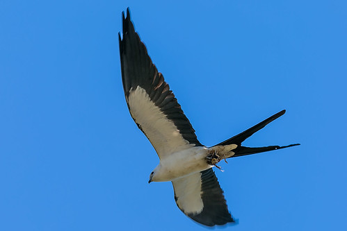 Swallow Tail Kite