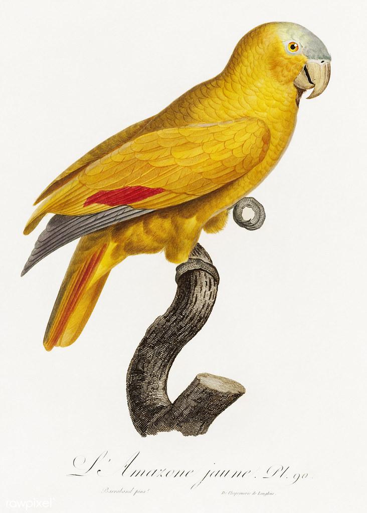 Blue-fronted parrot vintage poster