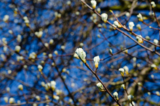 Whitebeam, leaves beginning to open | by Dave_A_2007