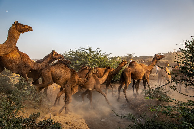 Herd of camels led by Gypsies from the Pushkar Fair grounds, Rajasthan, India