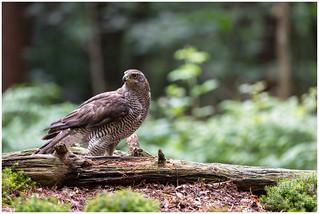 Northern Goshawk (female) - Havik (vrouw) (Accipiter gentilis) ...   by Martha de Jong-Lantink