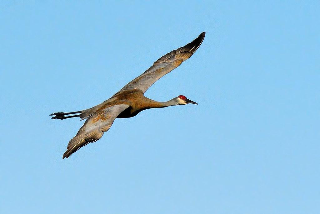 Grue du Canada ----------- Sandhill crane ----------- Grulla canadiense