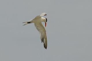 Королевская крачка, Thalasseus maximus maximus, Royal Tern   by Oleg Nomad