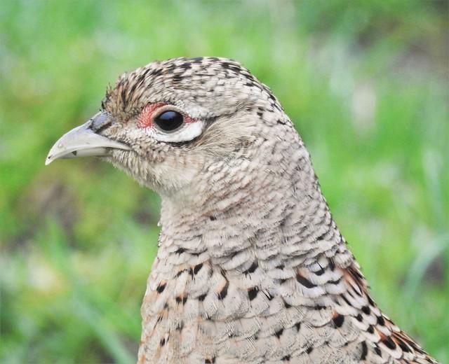 Pheasant Hen - Profile - Lamesley