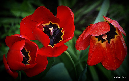 2018-04-131  three red tulips in my garden, manipulated image