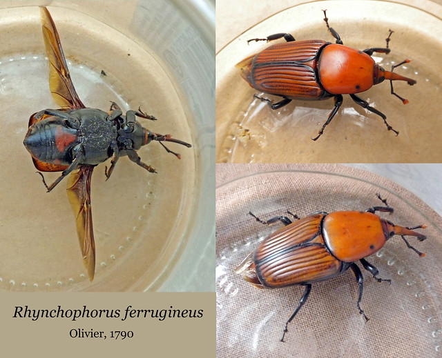 Rhynchophorus ferrugineus (collage)