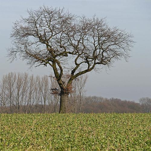 nature landscape landwirtschaft agriculture muensterland plants pflanzen bäume trees eiche oak catchcrop sky himmel germany