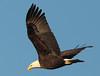 Bald Eagle by fishhawk