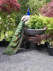 Peacock at Broughton Hall, Jindivic