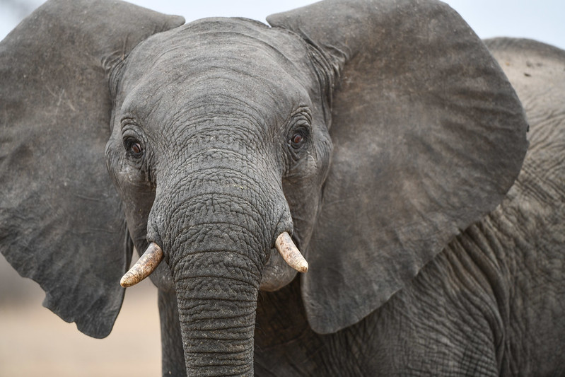 2262 Elephant