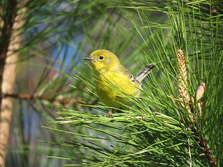 Pine Warbler | by mggoodwin56