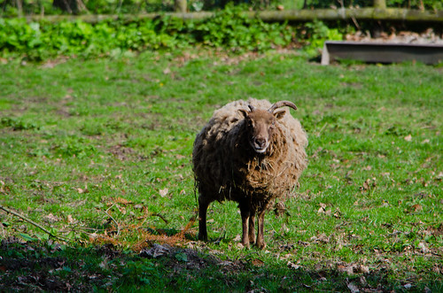 Curious sheep, Pendeford Mill