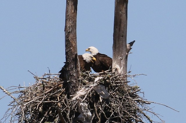 Bald eagles watching discussing the meal.