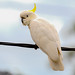 Sulphur-crested Cockatoo by Merrillie