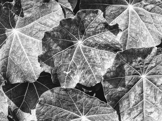 Veined Leaves