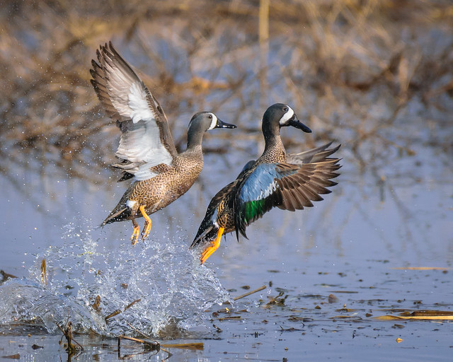 Blue-winged Teal - 1386