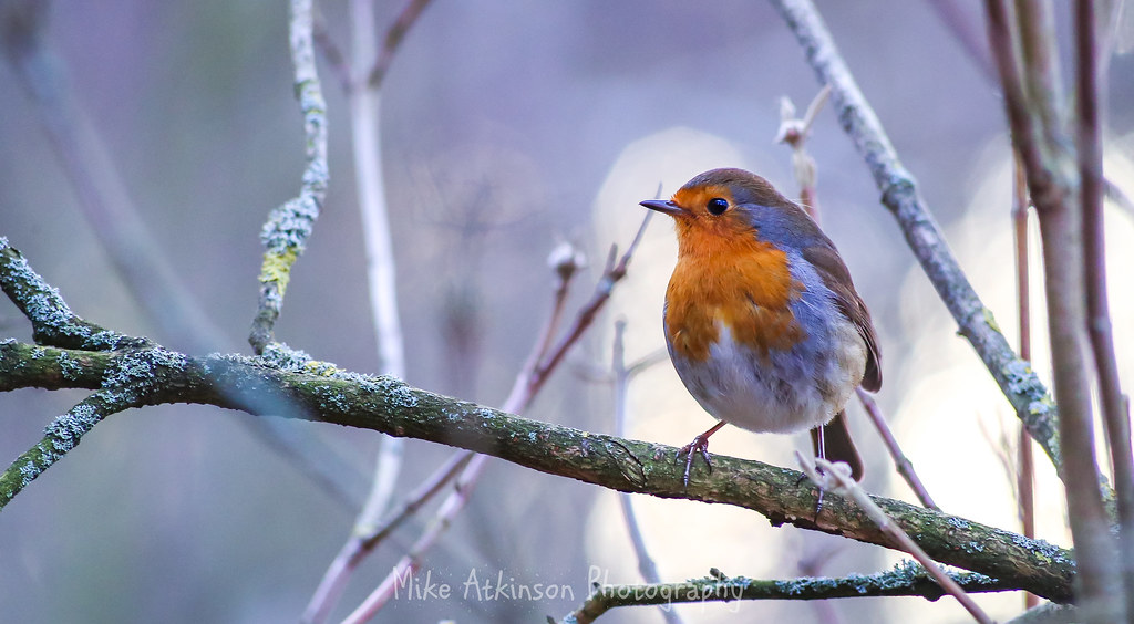 The Resting Robin (2)