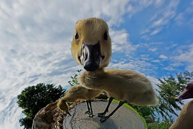 Whimsical Wednesday: gandering Gosling