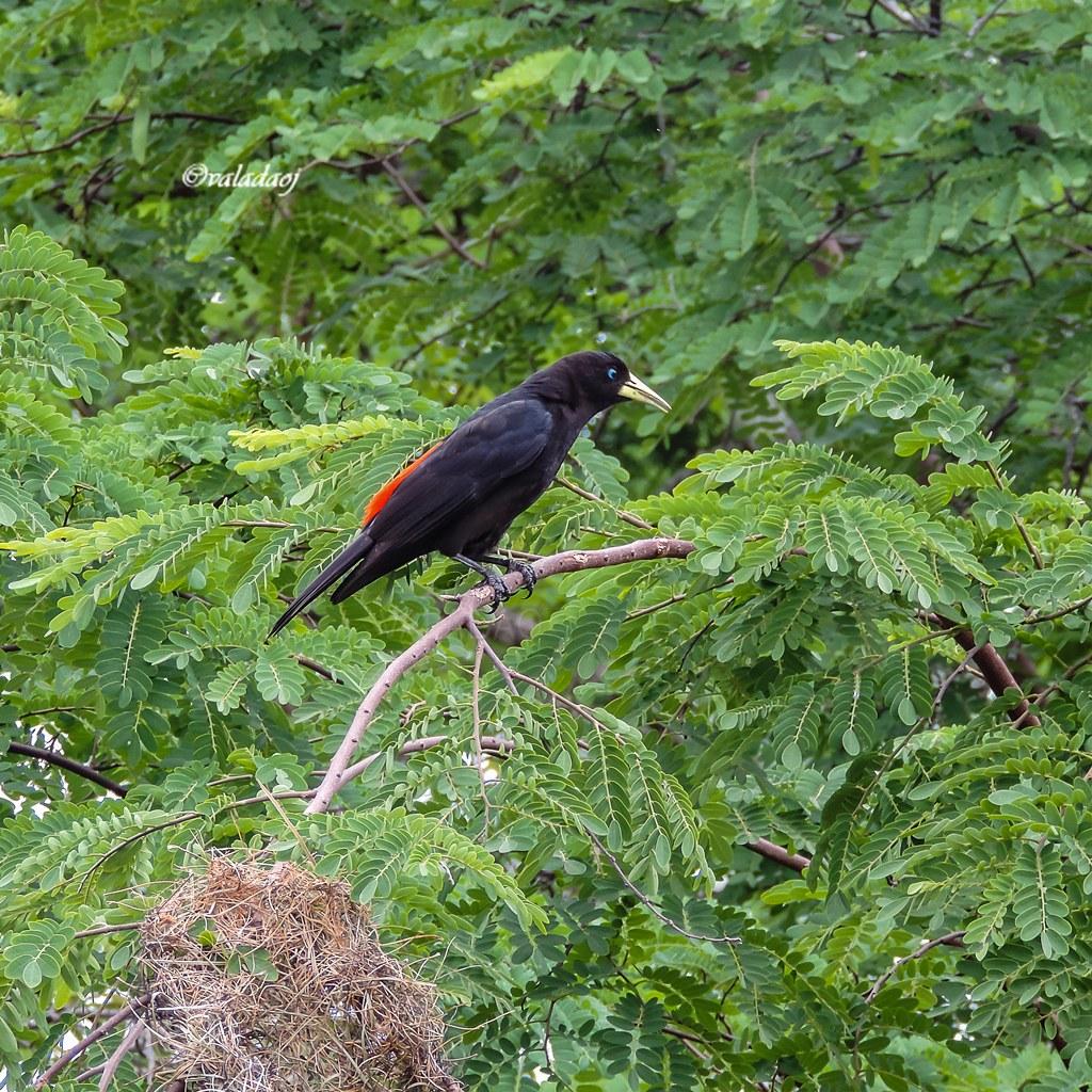 Guaxe - Red-rumped Cacique - Cacicus haemorrhous