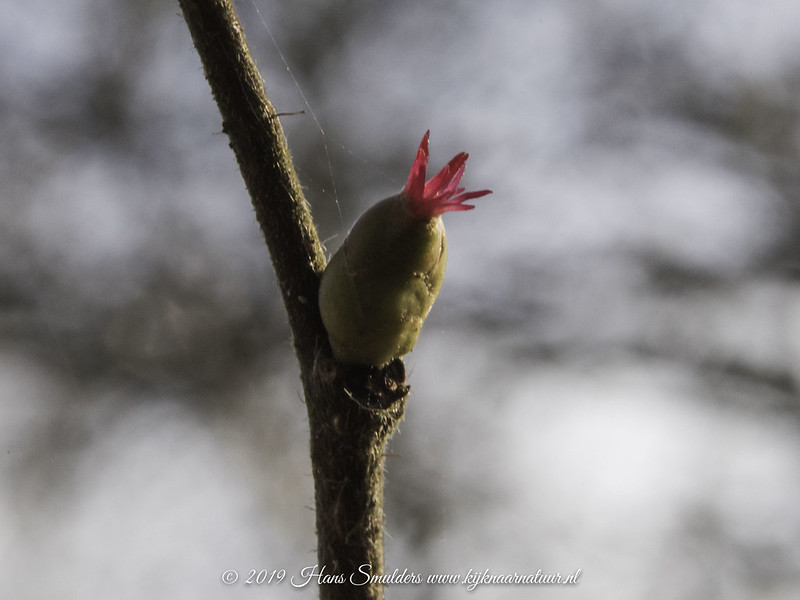 Hazelaar (Corylus avellana)-♀-819_0343