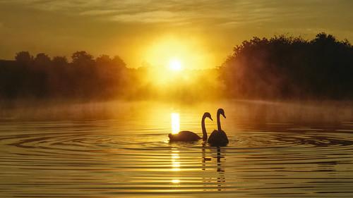 daisynook countrypark failsworth manchester uk crimelake swans cygnusolor hollinwoodcanal sunrise misty morning oldham reflection ripples waves