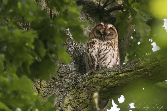 Tawny Owl-7163