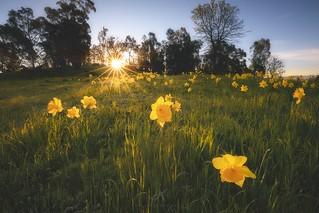 Wild Daffodils   by kenxu78