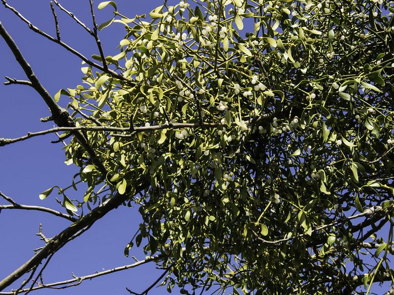 Mistletoe / Maretak (Viscum album)-819_0700