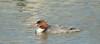 Common Merganser by fishhawk