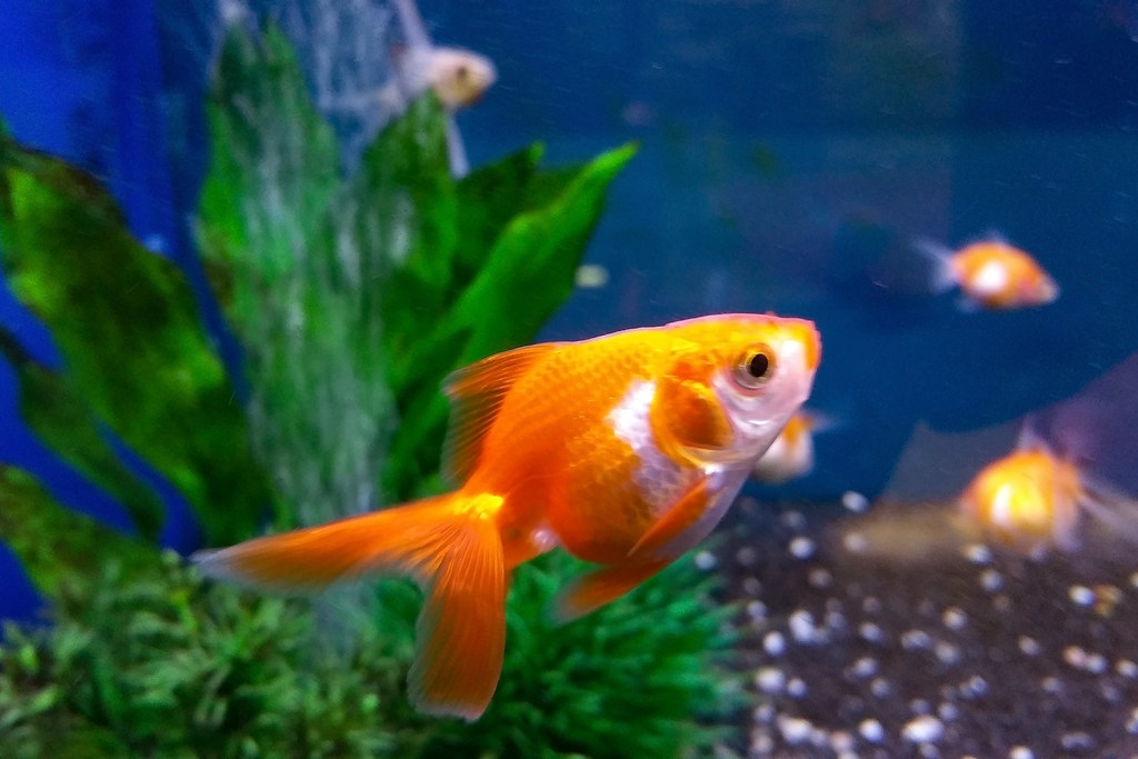 Il pesce d 39 aprile pesciolino rosso il pesce rosso for Quanto vive un pesce rosso