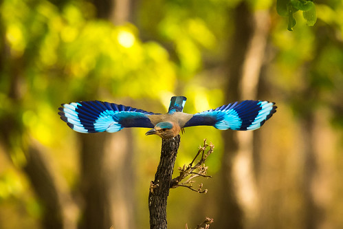 Indian roller | by Trekpedition.Com