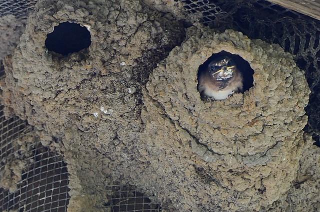 Petrochelidon pyrrhonota (Cliff Swallow) nestling