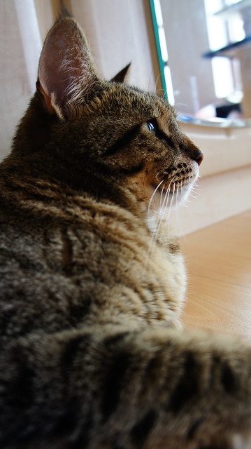 Pixie-bob Cat Pictures and Information - Cat-Breeds com