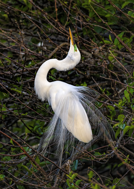 Great Egret Displaying In Breeding Plumage