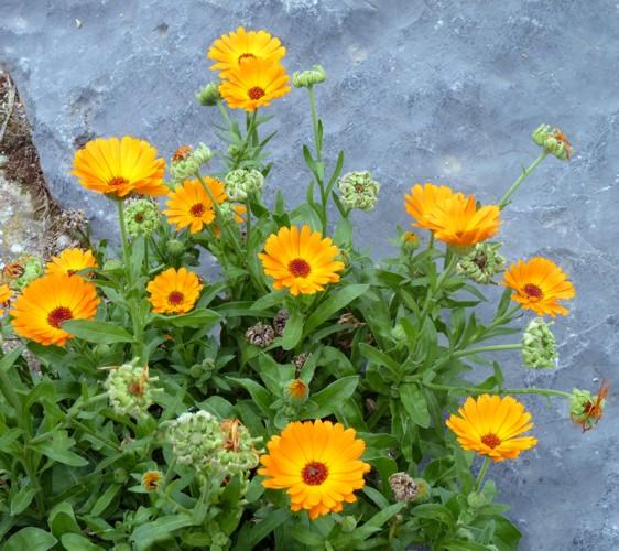 Calendula officinalis 33715797078_74bc92f495_o