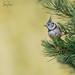 Kuifmees / Crested tit - 6557