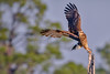 An endangered Juvenile Snail kite taking flight at Babcock Wildlife Management Area near Punta Gorda, Florida by diana_robinson