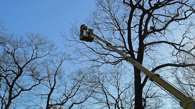 Arborists are real acrobats in the treetops