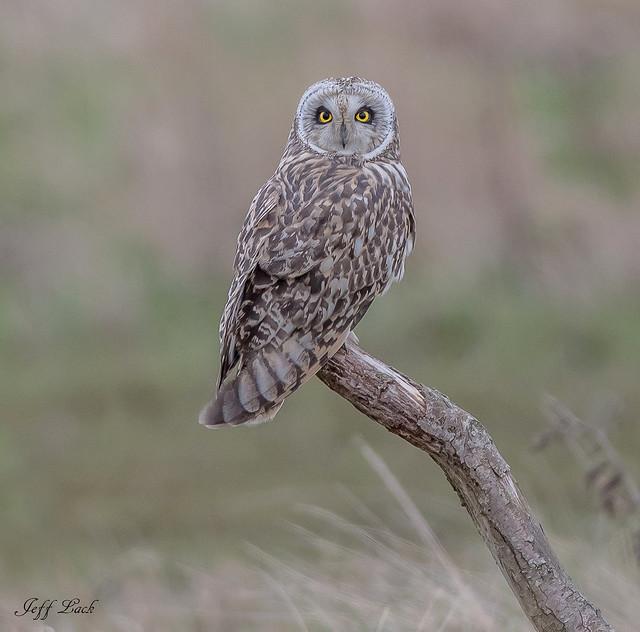 DSC4402  Short Eared Owl..