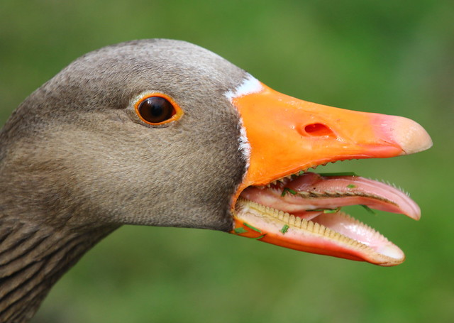 Do not annoy a Greylag Goose