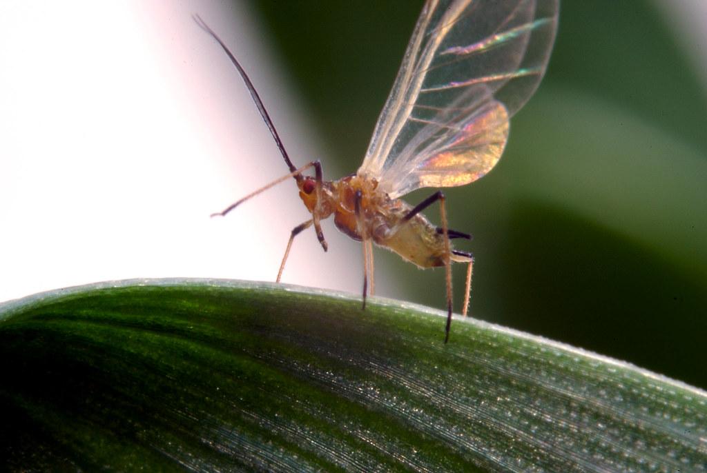 昆蟲。圖片來源:Rothamsted Research institute