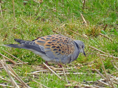 Turtle Dove (Streptopelia turtur) | by Brian Carruthers-Dublin-Eire