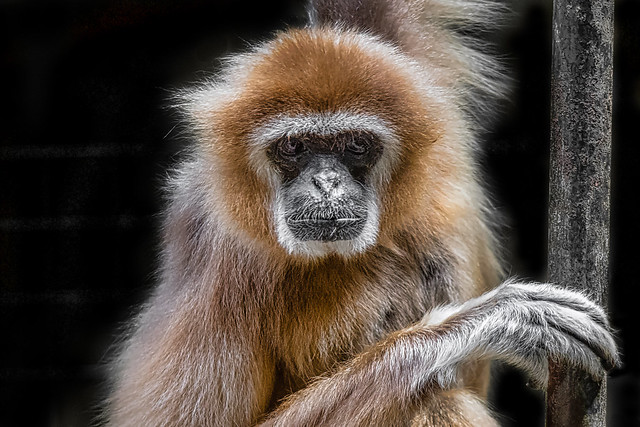 Animal Portraits - Gibbon