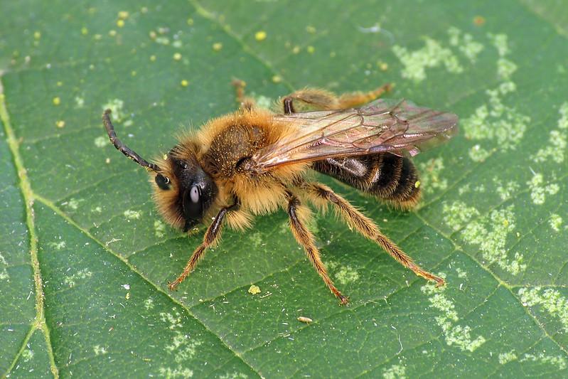 Buffish Mining Bee - Andrena nigroaenea