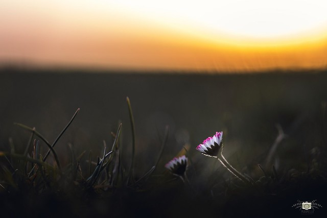 Sunset with daisys