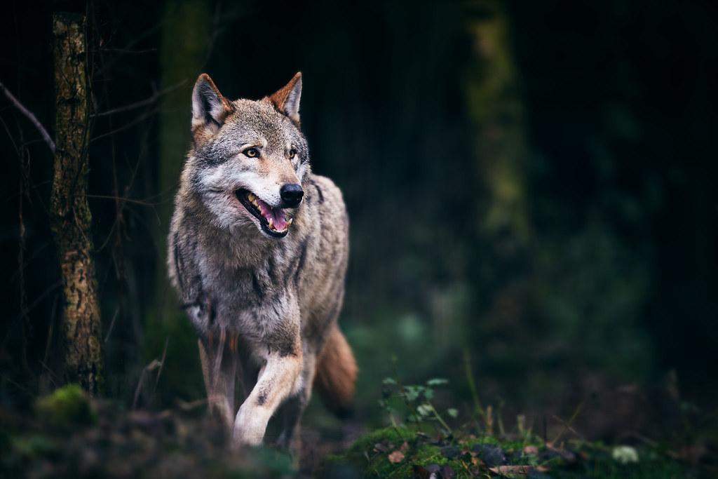 Wolfsbild