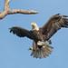 American Bald Eagle by Mark Schocken